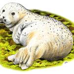"""Pacific Harbor Seal"" by inkart"