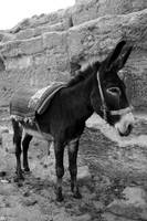 Donkey Tied to a Wall