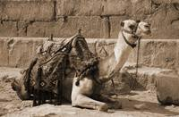 Camel Resting at the Pyramid Base (sepia)