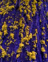 Blue Bark & Yellow Lichen