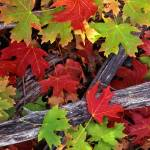 """Red & Green Canyon Maple Leaves"" by mikenorton"