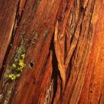"""Redwood Tree Bark"" by mikenorton"