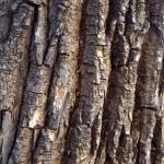 """Vertical Tree Bark"" by mikenorton"