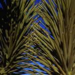 """Mojave Yucca #1"" by mikenorton"