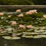 """Apricot-Peach Waterlilies - Brookgreen Gardens"" by eightarts"
