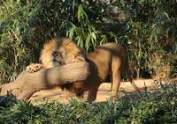 Lion Stretch 2