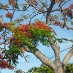 """Ponciana in bahamas"" by artforcancer"