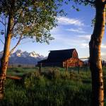 """Teton Barn and Aspen Trees"" by mikenorton"