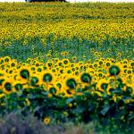 """Sunflower field"" by OrlandoHenriques"