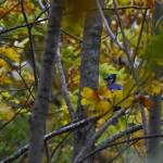 """Blue Jay in Fall"" by jasonmelquist"