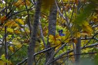 Blue Jay in Fall