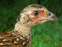 Young Ring-Neck Pheasant