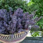 """""""Lavender Harvest"""" by stewickie"""