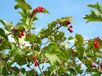 Highbush Cranberries 768