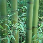 """Bamboo Grove"" by AnimalMagnatism"