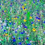 """Wild Flower Impressions 2"" by BarlondSmith"
