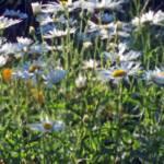 """Daisy Impressionist"" by BarlondSmith"
