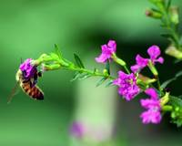 Bee on Mexican Heather