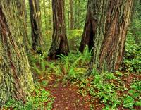 Redwood Forest #3