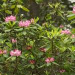 """""""Rhododendron, Redwood National Park"""" by RichardSisk"""