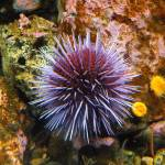 """Purple Urchin"" by CharlesHarlan"