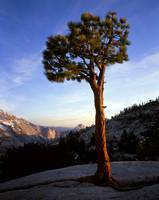 Olmsted Point Pine Tree