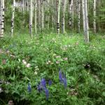 """""""Flowers & Aspen Trees"""" by mikenorton"""