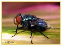 The Green bottle fly
