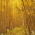 """""""Yellow Forest Trail"""" by mikenorton"""