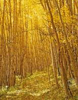 Yellow Forest Trail