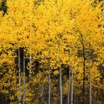 """Uinta Forest Aspens 2"" by mikenorton"
