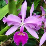 """Purple Orchid"" by ccfabulous"