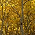 """Yellow Trees"" by mikenorton"