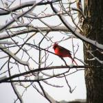 """Cardinal in a Tree"" by naturephotos"