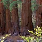 """Five Sequoia Trees"" by mikenorton"