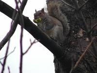 Squirrel Eats Broccoli