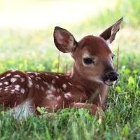 """Whitetail Fawn"" by Cathy Parkes"