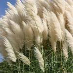 """""""Pampas grass"""" by alfarrob"""