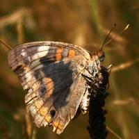Common Buckeye?