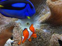 Clownfish on guard