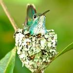 """Hummingbird Nest"" by ascottmccauley"