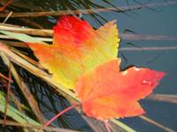 Fall Leaves on Pond