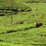 """""""Wild elephants at Valparai"""" by Rajeshkunnath"""