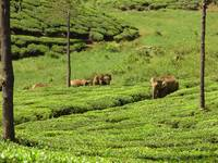 Wild elephants at Valparai