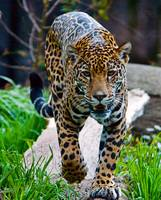 Jaguar Approach