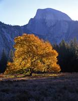 English Elm and Half Dome