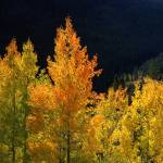 """Orange and Yellow Aspens"" by mikenorton"