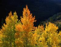 Orange and Yellow Aspens