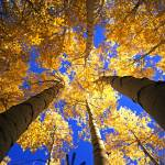 """""""Yellow Forest Canopy"""" by mikenorton"""