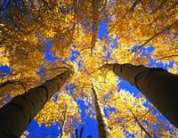 Yellow Forest Canopy